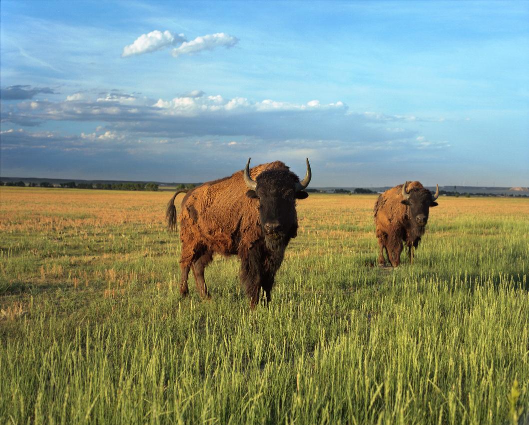 American Bison, Grover, Colorado (Kodak Portra 160, Mamiya RZ67)