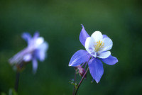 Columbine, Kebler Pass, Colorado
