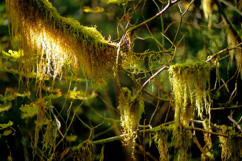 Hall of Mosses, Hoh Rainforest, Olympic National Park, Washington