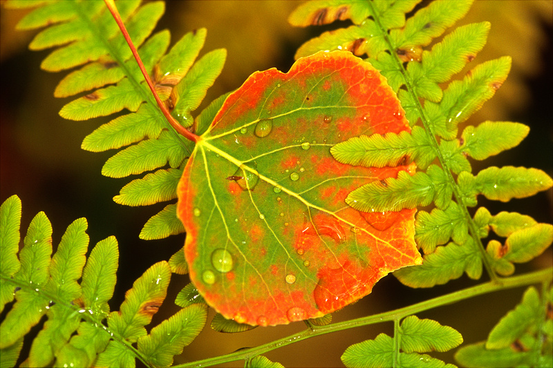 Aspen leaf, Gunnison National Forest, Colorado. Velvia 100, Micro Nikkor 105VR with CLS-triggered flash.