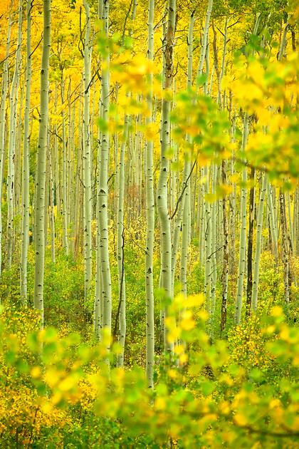 Aspen forest near Independence Pass, Sawatch Range, Colorado (2012)