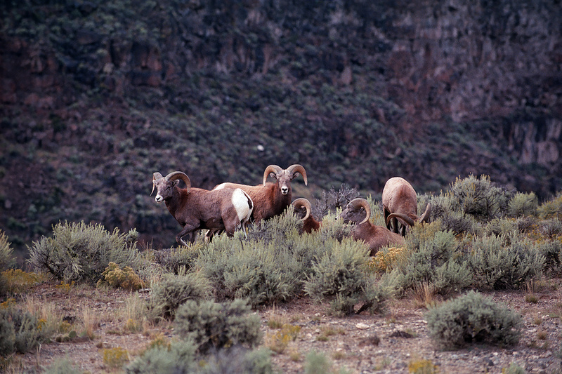 Big Horn Sheep, Rio Grande Gorge, Taos, New Mexico (2014)