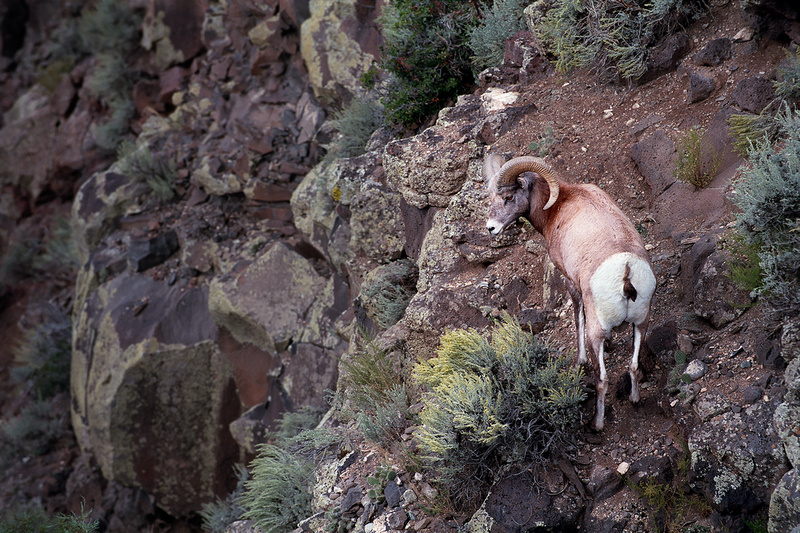 Big Horn Sheep, Rio Grand Gorge, Taos County (2014)