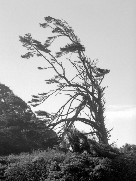 Shore Pine, Beach One, Olympic National Park, Washington
