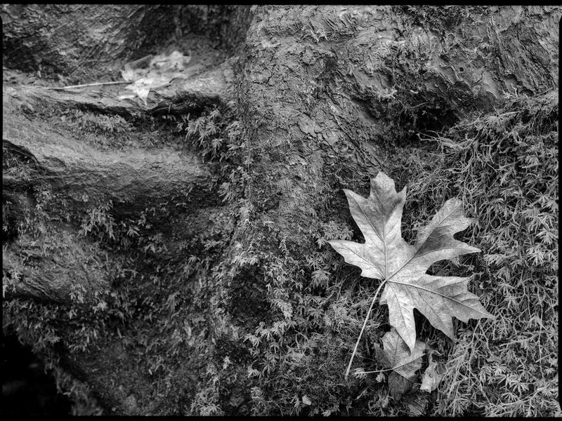 Big Leaf Maple Leaf, Hoh Rainforest, Olympic National Park, Washington (2017).