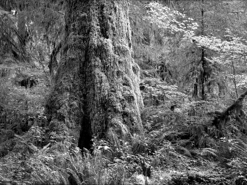 A massive colony of life is represented in this scene of mosses and epiphytes (plants growing on other plants without harming the host) clinging to a gigantic Sitka Spruce in the Hoh Rainforest, Olympic National Park, Washington (2017).
